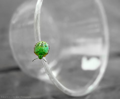 Green Bug Cup Escape (Keulkeulmike Photography) Tags: bug bugs insecte insect insects green vert vivelevert macros macro macrophotographie sony rx rx10 rx10iii rx10m3 hoya colored catchycolors colors closeup close keulkeulmike faune punaise nature natur natura animaux naturaleza natural animal animals cup escape macroglossum