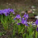 Himalaya Iris thumbnail