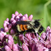 Tri-colored Bumble Bee (Bombus ternarius)