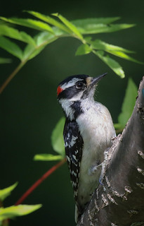 Pic mineur mâle  -  Downy Woodpecker