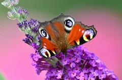DSC_8991 (sylvettet) Tags: butterfly nature 2017 peacock paondujour papillon