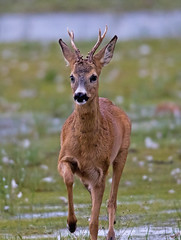 Roedeer, Buck (Capreolus capreolus) (MagnusGustafsson) Tags: rådjur roedeer buck nature outdoor capreolus canon tamron