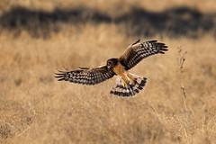 Juvenile Northern Harrier (wlb393) Tags: northernharrier birdsofprey birds sycamoregrove livermore s8m4680