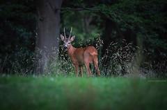 We meet up... (amirosphere) Tags: k5 pentaxart pentax nature tamronaf7020028diifmacro deer deertick outdoor fauna justpenax rådjur rådjurbock