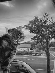 Brutal HDR (sjrankin) Tags: 15july2017 edited animal cat tigger window windowsill kitchen yubari hokkaido japan grayscale hdr autoprocessed