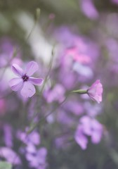 Hazy Pinks (haberlea) Tags: garden mygarden hazy dreamy viscaria plants flowers pink green nature