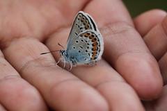 Ljungblåvinge 'Plebejus argus' (På upptäcktsfärd i naturen) Tags: blåberga juli fjäril ljungblåvinge plebejusargus plebejus äktadagfjärilar papilionoidea juvelvingar lycaenidae polyommatinae polyommatini blåvingar