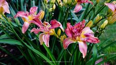 DSC00624 (Aldona Induła) Tags: hoyafilters sony a6000 bezedycji daylily flower garden hemmerocallis kwiat liliowiec ndx8filter notedited ogród prostozaparatu straightfromthecamera