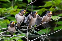Chorus (Glen in Franklin County) Tags: swallow virginiastateparks birdwatching bird fairystonestatepark lake pond feathers wings chicks canon tamron beak feeding wildlife
