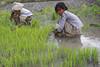 Harvesting rice in Aileu Rice 26-09-08-3 (undptimorleste) Tags: aileu farmer farmers field harvest rice ricefields timorleste