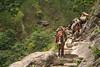 Donkey Convoy (Albert Michaud) Tags: nikon d750 nepal asia trekking manaslu himal mountain altitude himalaya