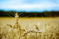 Orange & teal wheat (grand Yann) Tags: blé nature stilllife vegetal wheat bleu blue bokeh naturemorte orange végétation estréessaintdenis hautsdefrance france