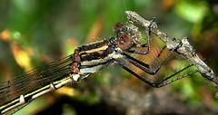 DAMSELFLY up close (Lani Elliott) Tags: nature naturephotography lanielliott insect fly damselfly macro upclose close closeup bokeh macrounlimited eye green tasmanianfauna background greenbackground brilliant incredible wow