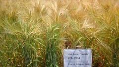 Ethiopia (ICARDA-Science for Better Livelihoods in Dry Areas) Tags: ethiopia africa smallholder livelihoods icarda maltbarley