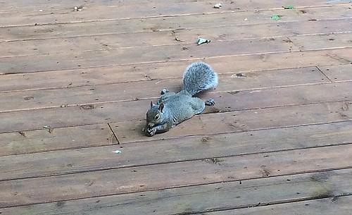 Squirrel got a peanut then flopped down to enjoy it