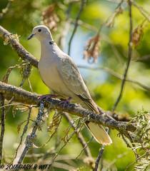 Eurasian Collared-Dove (orencobirder) Tags: birds largebirds doves flickrexport