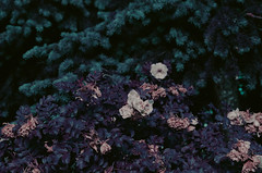 rosebush (inmno) Tags: lomochrome purple lomography aerochrome minolta ishootfilm