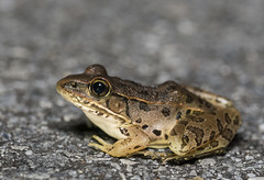 Southern Leopard Frog (cre8foru2009) Tags: ranasphenocephala southern leopard frog amphibian herping