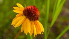 Gaillardia Aristata (kensparksphoto) Tags: gaillardia wildflower flower yellow cone macro