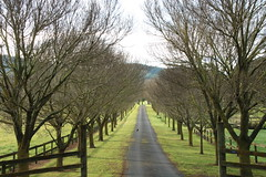 Winter sentinels (Karen Pincott) Tags: trees deciduoustrees rural newzealand havelocknorth hawkesbay winter driveway