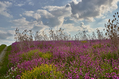 Flower Power XXL 2 (W_von_S) Tags: meadow wiese feld blumen flowers blossom blüten natur nature wvons werner sony alxing clouds wolken pink rosa landschaft landscape
