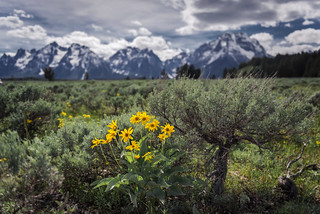 Spring Wildflowers (Grand Teton National Park)