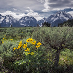 Spring Wildflowers (Grand Teton National Park) thumbnail