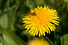 The collector (technodean2000) Tags: pollen flower weed dandelion bug macro fly nikon d610 sigma 105mm