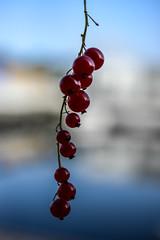 Summer (Fraila) Tags: summer macro nikkor 60 mm redcurrant ribs closeup red simple