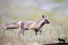 The Visitor (Megan Lorenz) Tags: crossfox fox redfox vulpesvulpes animal mammal vixen female nature wildlife wild wildanimals newfoundland canada mlorenz meganlorenz