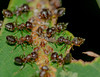 This Is So Awesome! Lined Up For Milking! Get Out Of Here! (AnthonyVanSchoor) Tags: mutualistic relationship brown ants aphids honeydew food produced on the spoy nikond7100 nikkor 55200mm meadowbrookpark ellicottcity marylandbiodiversityproject maryland symbiosis for protection