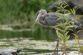 Great Blue Heron meets a Turtle
