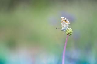 Çokgözlü Esmer / Polyommatus agestis /
