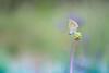 Çokgözlü Esmer / Polyommatus agestis / (Evren Unal Photography) Tags: carlzeiss zeiss touit2850m 50mm 50m macro closeup bokeh color colors fujifilm nature artnature photography turkey spring sun sunset sunlight alone art bugs bug insect insects summer dof deep depth field ngc animal outdoor plant blossom flower grass natureart minimal minimalism minimalist minimalmacro minimalnature minimalart mini red smallbug landscape white background xt2 fujifilmxt2 7dwf