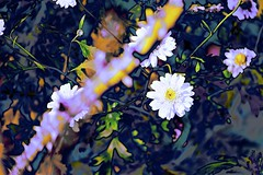 Flower Abstract! (maginoz1) Tags: abstract art flowers buds foliage winter july 2017 bulla melbourne victoria australia canong3x manipulate curves