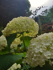 (Iggy Y) Tags: hydrangeamacrophylla hydrangea macrophylla spring blossom flower color flowers green leaves nature park garden plant velelisnahortenzija hortenzija hortensia bigleafhydrangea bigleaf sunny day light sky