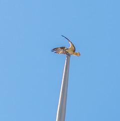 High Flyer. (Omygodtom) Tags: usgs urbunnature existinglight wildlife bird osprey bokeh scene scenery senery setting outside tamron90mm nikkor natural nature nikon dof d7100 artist digital city