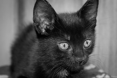 Irati bebé (Euge Ibero) Tags: gato cat pet mascota animal canon photography felino feline eyes blackwhite blancoynegro