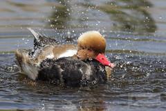 Pato colorado macho (Netta rufina) (jsnchezyage) Tags: patocolorado nettarufina ave anátida pájaro fauna naturaleza birding bird