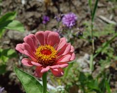 IMGP9456b (forfiv) Tags: digital pentaxk30 tamron28200mm flowers grandcoulee wa