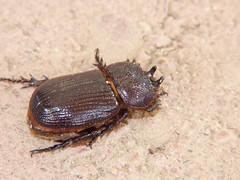 Rhinoceros Beetle (Keith Roragen) Tags: arizona insect coleoptera beetle scarabaeidae rhinocerosbeetle hemiphileurus illatus greenvalley