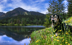 7/12B Jasper - I like this spot... (yookyland) Tags: 12monthsfordogs 2017 jasper 712 dog mountains alpine lake water reflection wildflowers