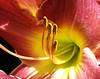 Pretty as a Peach (Puzzler4879) Tags: flowers daylilies flowermacro flowercenters bayardcuttingarboretum bayardcuttingarboretumstatepark stateparks newyorkstateparks longislandstateparks a580 canona580 powershot powershota580 canonpowershota580 canonpowershot canonphotography canonpointandshoot pointandshoot