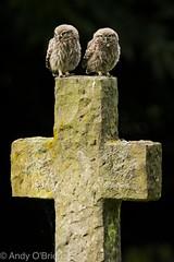 Two's Company (Andy O'Brien UK) Tags: littleowll wild owl nature cute fluffy nikond500 sigma nikon