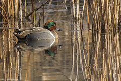 Green Winged Teal_ (wfgphoto) Tags: greenwingedteal water swimming sun morning reeds