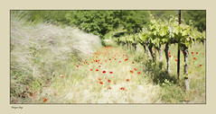 Halcyon Days (Andy Gant) Tags: halcyondays provence france poppies vineyard vine grapevine summer red green grass art photoart painterly hss sliderssunday happysliderssunday dreamy dream dreams wishiwasthere