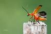 _MG_2170   Téléphore fauve ( Rhagonycha fulva) blog (kadely) Tags: canonfrance canon nature natural naturefinest naturalf animal insectes insect insekt insekten identified insekts insecte coléoptère macro macroinsectes macrolife 55250mm 3000v120f p infinitexposure