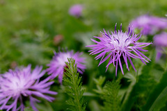 in a summer meadow (nelesch14) Tags: purple flower summer meadow blossom nature closeup soft green outdoor