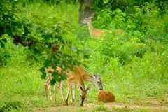 DSCF7652.jpg (zane.hollingsworth) Tags: mosslake 400mm 1500ss iso2000 f56 fawn doe lake 600mm35eqv deer babydeer