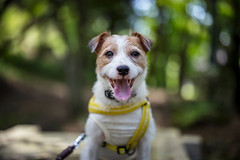 Forest Therapy (moaan) Tags: kobe hyogo japan jp dog jackrussellterrier kinoko portrait dogportrait dof bokeh bokehphotography forest foresttherapy smile smiling cameraeye canoneos5dsr zeissotus55mmf14ze otus1455